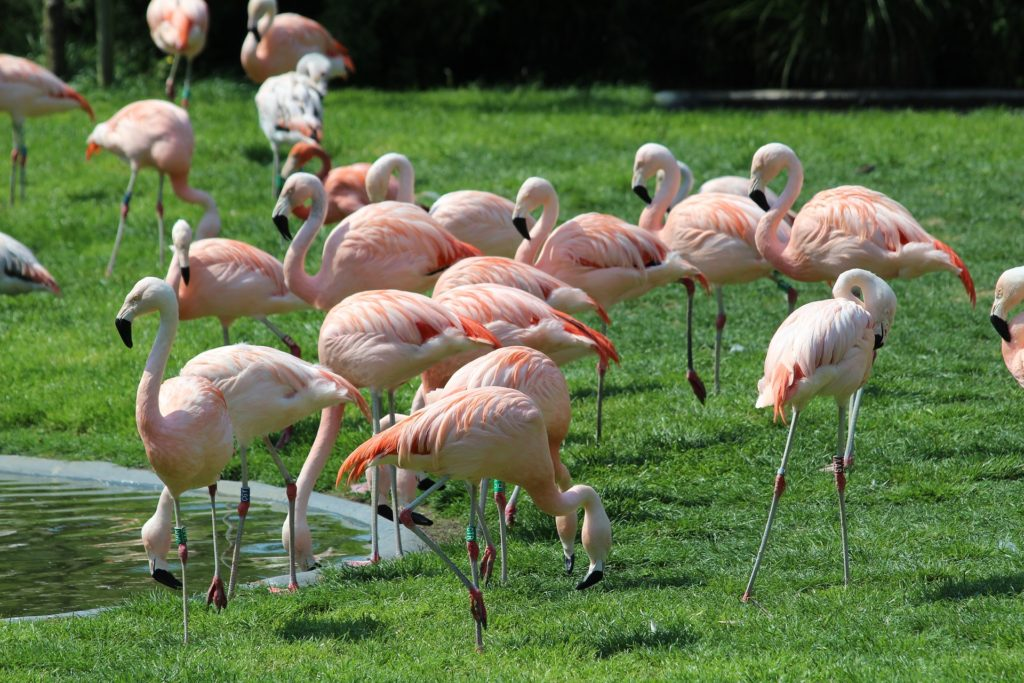 flamants roses zoo de Planckendael.