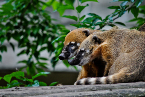 coatis roux zoo Anvers