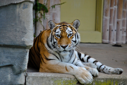 tigre zoo Anvers