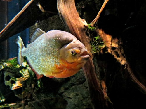 piranha rouge Sea Life Blankenberge
