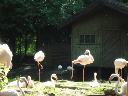 flamants roses Bellewaerde